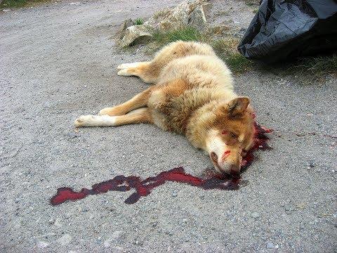 Շների սպանդը՝ հարբած մարդու խրախճանք