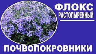 Почвопокровные цветы для сада и на даче.  Флокс растопыренный