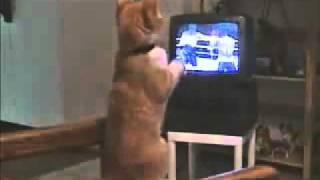 Кот болеет за бокс