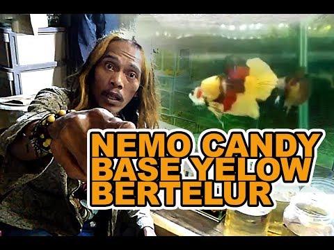Cupang Nemo Base Yellow Bertelur Youtube