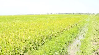 Rice variety, market conspire against Kano irrigation farmers