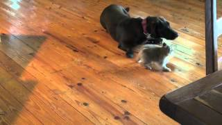 Buford And Lincoln Playing With Princess(a 3 Month Old Pomeranian)