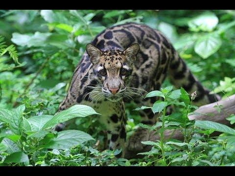 Panthera's 2019 March Catness Winner: The Clouded Leopard Mp3