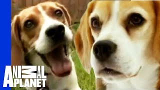 Watch More At: http://animal.discovery.com/videos/dogs-101-season-o...