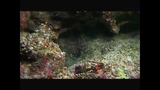 Day Octopus - Octopus cyanea