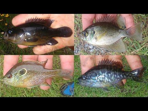 Flier, Mud Sunfish, Dollar Sunfish, Warmouth, And Other Sunfish Caught In Northern Florida