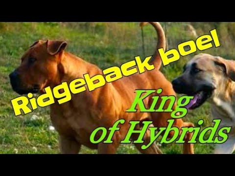 Boerboel dog Hybrid #hybrid king