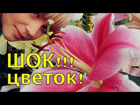 Хотите КРУПНЫЕ цветы у ЛИЛИЙ? делайте ТАК. Подкормка лилий перед цветением
