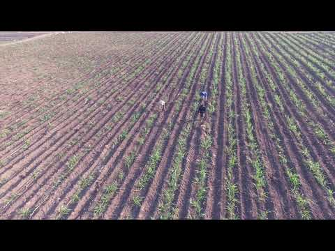 Napier Grass Cultivation 5 - Phantom 3 Pro 4K