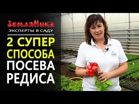 Как правильно сажать редиску семенами? Выращивание и уход за редисом.