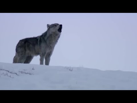 Wolves Unable to Separate After Sex! | Animal Attraction | BBC