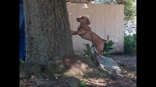 Dachshund Hunting