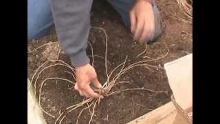 Planting asparagus and Strawberries