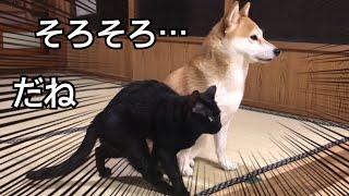 いつも仲良しな柴犬と黒猫、この日は二匹でお留守番。そこにパパとママが帰ってきた!!