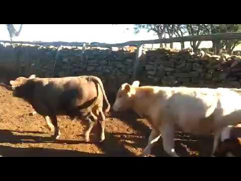 LOTE D04 - 25 TERNEIROS INTEIROS PESO MÉDIO 232 KG - AGROPECUÁRIA BELA VISTA
