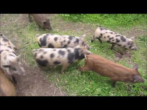 Miniature Pigs Herded by Manx Cat