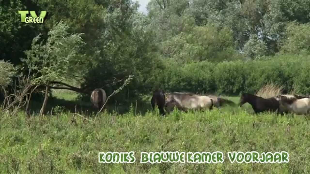 Kudde konik paarden blauwe kamer nederrijn youtube - Blauwe kamer ...