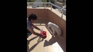 Dogo argantino 4 months old puppy training(cesar millan in yolunda)