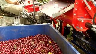 Kombajn do wiśni i  śliwek / Cherry Harvester Machine GACEK