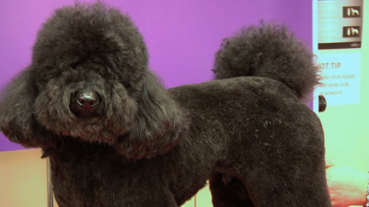 miniature poodle - teddy trim grooming guide - pro groomer - youtube