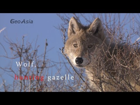 Wolf, Gazelle Hunting. Mongolian Gazelle Herd