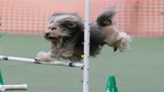 Lowchen  small dog breed