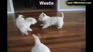 West Highland Terrier, Puppies, For, Sale, In, Badger, County, Alaska, Ak, Kink Fairview, College