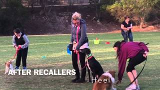 Dog Training Using Recaller Games Is A Game-changer For Rescue Greyhounds