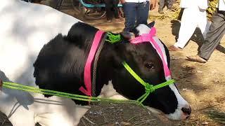 Gambar cover Cow market loni....  Mobile no VINAYAK 9373843438.