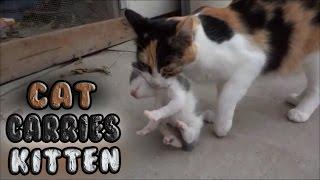 Momma Cat Carries Baby Kitten