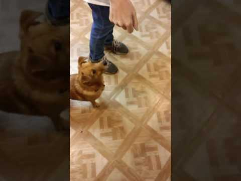 Dog walking For food (Cute Jasper)