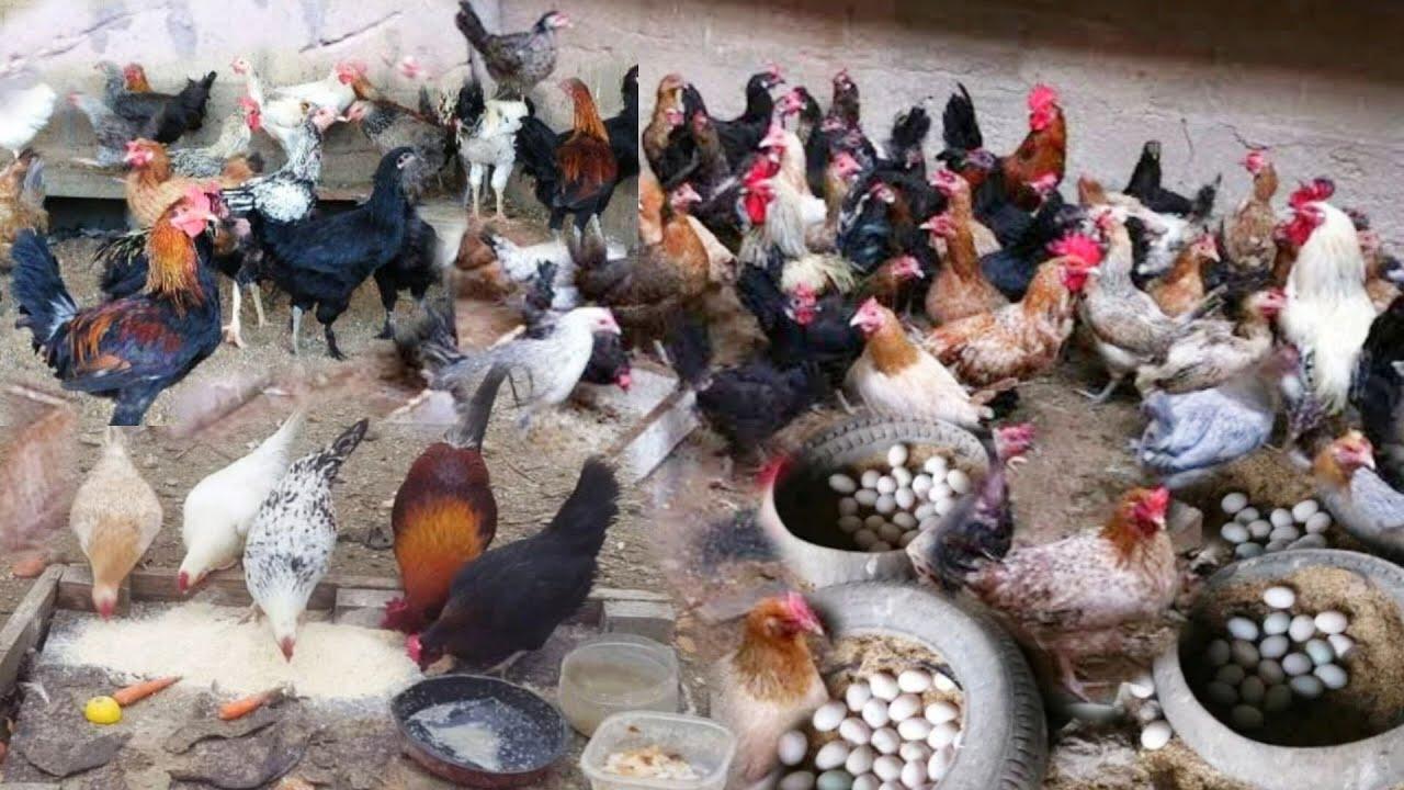 مكون ببلاش مش هيكلفك جنيه هيزود إنتاج البيض 4 أضعاف حطيه يومين ومش هتلاحقى جمع بيض وهتوفر فلوس وعلف