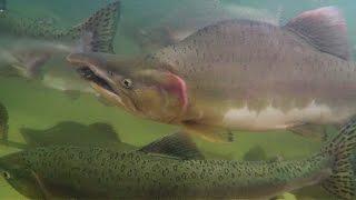 видео Курильский рыбак горбуша