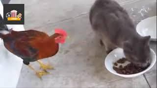 кот против курицы бой    эпик кошки воюют с курицей   кот против курицы смешные  