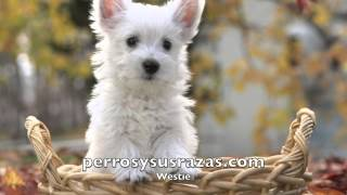 Westie, West Higtland White Terrier