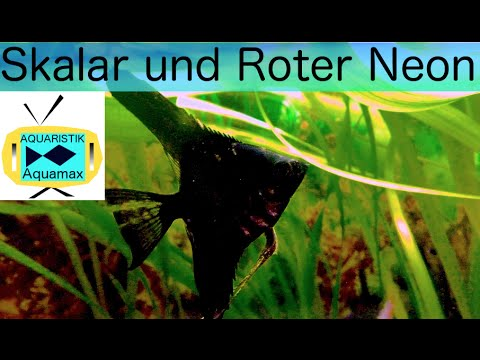 Die haltung des skalars und des roten neons 15 youtube for Skalar futter