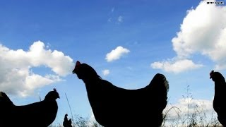 Chicken abuse uncovered at North Carolina farm