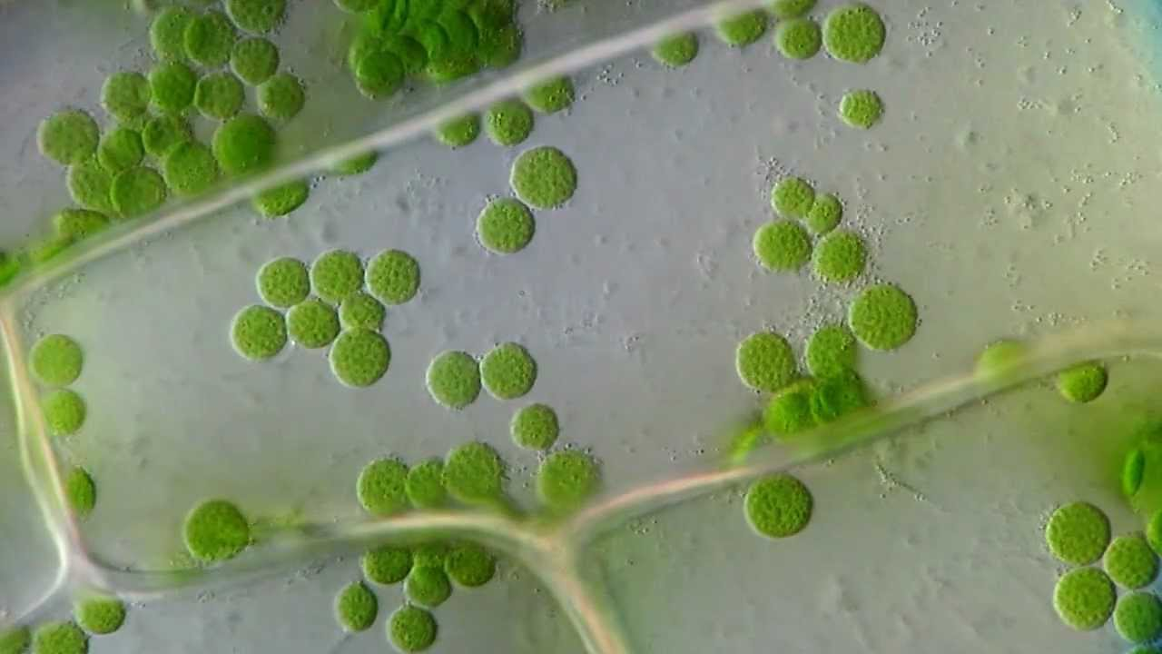 Cyclosis    Cytoplasmic Streaming In Plant Cells  Elodea