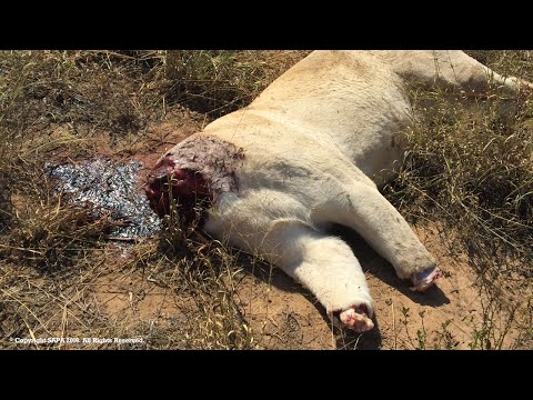SAPA offers a Reward to help Stop Lion Poaching in South Africa