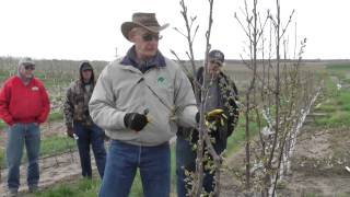 Growing & pruning Super Slender Axe (SSA) cherry trees on Gisela rootstock