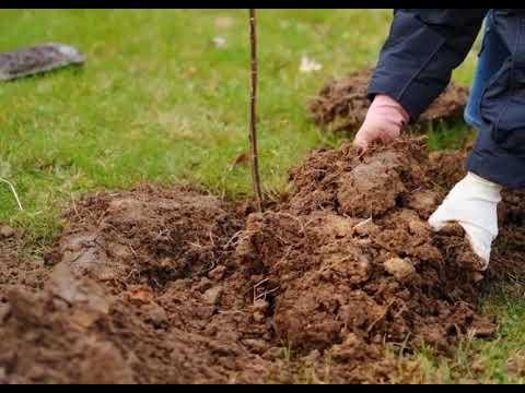 Вопрос: Какие плодовые деревья хорошо растут в глине?