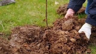 как глинистую почву сделать плодородной и рыхлой?