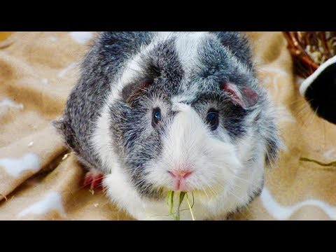 Guinea Pig Noises & What They Mean