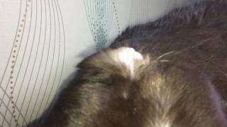 У кота сломанное ухо сломанное ухо, британский кот в слоумо  срочно смотреть