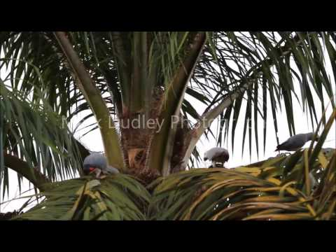African Grey Parrots in the wild