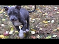 Pitbull puppy trained to attack on command