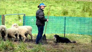Carolina And Her Border Collie Sheepdog Training  In Melbourne