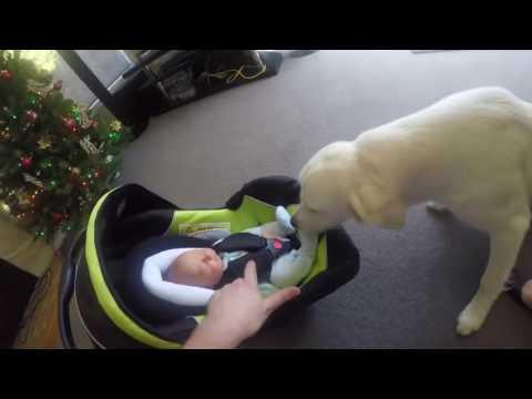 Dad Lets His Big Dog Meet The Newborn Baby