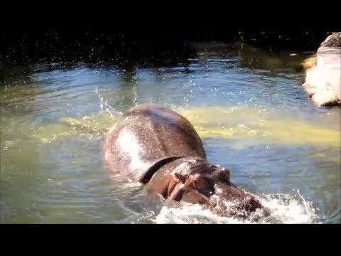 Hippo fart splatters explosive diarrhea everywhere 2