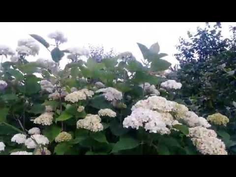 Часть моего сада в июне / My garden flowers